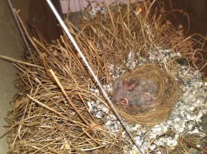 babies finches sleeping in temporary home